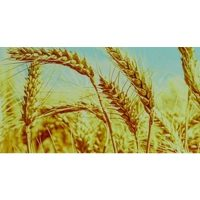 Пшеница. Фартук. 3 метра