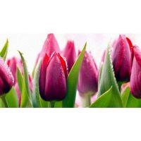 Тюльпаны. Фартук. 3 метра
