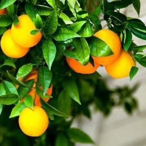 Апельсиновое дерево 600х600