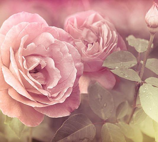 Фотопанно Розы, размер 300x270