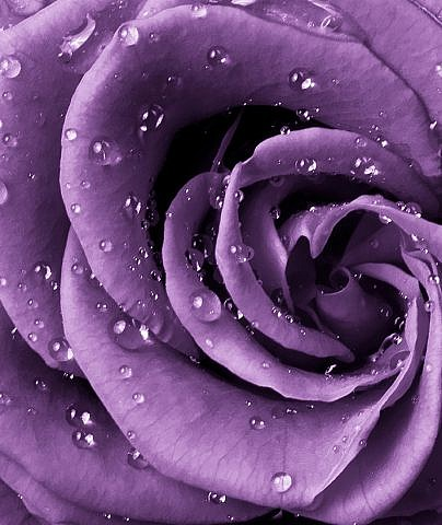 Фотопанно Роза фиолет, размер 200x238 (038)