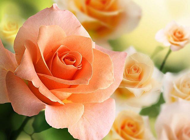 Фотопанно Розы 2, размер 200x147 (056)