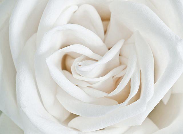 Фотопанно Роза белая, размер 200x147 (061)