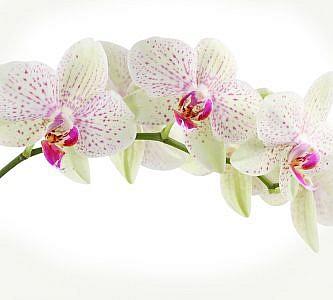 Фотопанно Орхидея веточка, размер 300x270 (394)