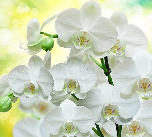 Фотопанно Белые орхидеи, размер 300x270 (B1-085)