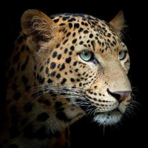 Леопард 600х600